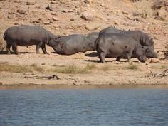 Who wants to take their family on an African safari for the chance to see some awesome animals including these hippos? Book your trip now!