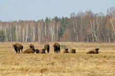 Wild bison, north-east Poland