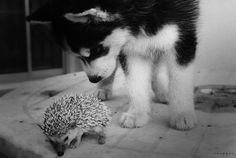 baby husky & porcupine