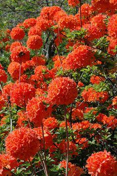 Mandarin Lights Azalea has deep orange flowers that are rare in flowering shrubs… - Beautiful Flowers Garden Shrubs, Flowering Shrubs, Trees And Shrubs, Trees To Plant, Garden Plants, Garden Landscaping, Amazing Flowers, Beautiful Flowers, Fleur Orange