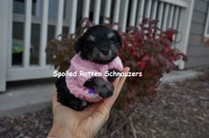 cute as a button! Teacup black and silver schnauzer! only 4 - 6 lbs full grown and full of  personality plus!