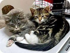4/11/17 Brooklyn, NY - Persian. Meet Max and Chico, Sweetest Persian-mix Babies, a kitten for adoption. http://www.adoptapet.com/pet/17932131-brooklyn-new-york-kitten