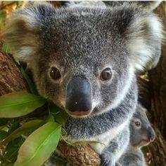 Cute Animals, Bear, Australia, Koalas, Cordial, Pretty Animals, Cutest Animals, Cute Funny Animals, Bears