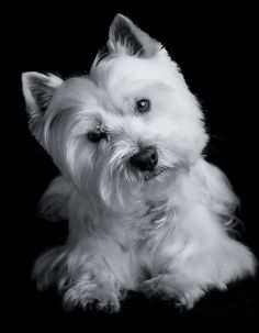 aww my westie does this when he's whistled at.. casey <3