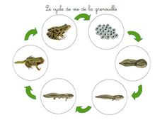 Crapouillotage: La GRENOUILLE : Cycle de vie                              … Science Montessori, Teaching Science, Science For Kids, Life Science, La Petite Taupe, Lifecycle Of A Frog, Earth Layers, Frog Life, Biology Classroom