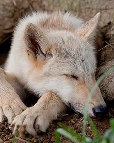 Time for a nap.  ~Wolf
