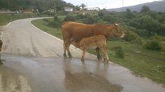 Free living cows in La Peña, Los Alcornocales Natural Park, next to Hotel La Torre