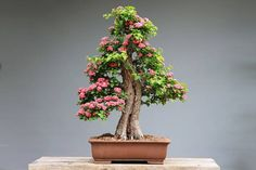 Lo que debes hacer cuando te regalan un bonsái
