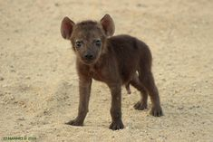 An adorable sighting of hyena cubs, and a brief look at some wacky facts about this species.