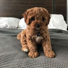 The Cavapoo is a crossbreed that results from breeding a Poodle and a Cavalier King Charles Spaniel. Cavapoos were initially created to be hypoallergenic dogs and thus the ideal companion for… Super Cute Puppies, Cute Baby Dogs, Cute Little Puppies, Cute Dogs And Puppies, Cute Little Animals, Adorable Dogs, Doggies, Cutest Dogs, Small Puppies