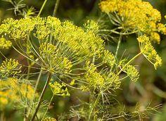 Aneto: come coltivarlo - GreenStyle Dandelion, Herbs, Health, Sport, Deporte, Health Care, Dandelions, Sports, Herb