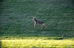 Running Buck' by Chris Flees