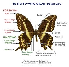 24 best The Butterfly & Moth - Anatomy & Tutorials images on ...