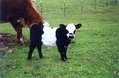 Miniature Panda Cattle