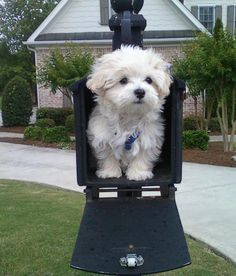 Awwwww cute little Maltese puppy ! Havanese Puppies, Maltese Dogs, Cute Puppies, Dogs And Puppies, Maltipoo, Doggies, Teacup Maltese, Cute Baby Animals, Animals And Pets