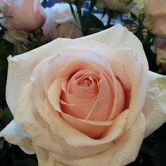 Rose favourite.  #florist #florists #flower #flowers #perrifarms #wedding #weddings #floral #cutflower #cutflowers #roses #rose #ecuador