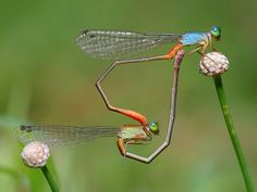 damselflies mating in the shape of a heart. it sounds like the title of a smashing pumpkins song.