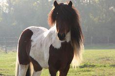 Icelandic Horse stallion Djarfur frá Reykjavík Island Horse, Horse Names, American Quarter Horse, Icelandic Horse, All About Horses, Pretty Horses, Horse Pictures, Palomino, Adorable Animals