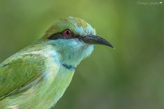 Green Bee-Eater (Merops orientalis) | August 2016 Sundarban,… | Flickr