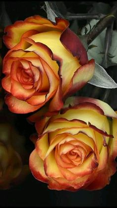 Pretty yellow bi-colored rose
