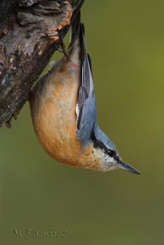 Red Breasted Nuthatch (Sitta canadensis) found in coniferous forests of North America, from Canada, Alaska and Northeast and Western United States