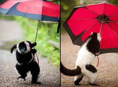 This cheeky black-and-white-ruffed lemur at Dudley Zoological Gardens grabbed an umbrella from a visitor to the site's Lemur Wood - home to more than 30 free-roaming lemurs - and set off for a wander around the one-acre paddock.  Head of Media and Communications, Jill Hitchman, said: 'He carried it around for a while but abandoned the brolly when a gust of wind almost blew him over.'