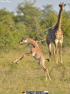 """Showing off for mom, by guide Dave Pusey, photographed at Leopard Hills, South Africa. """"A week old giraffe calf found its feet and decided to show off its new found agility to its mother, and us!"""""""
