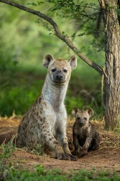 Beautiful hyena and it's mom - Explore the World with Travel Nerd Nici, one Country at a Time. http://TravelNerdNici.com