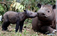 3-days-old male Sumatran Rhinoceros calf named Andatu, and his mother Ratu, Way Kambas National Park in Lampung, Indonesia. It is believed that there are less than 200 Sumatran rhinos remaining in the wild. To learn more about September 22's International Rhino Day, visit http://www.savetherhino.org.