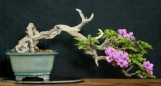 Fast growing bougainvillea bonsai have abundant flowers, love heat, tolerate cool, easy care, alternate leaves! What more could you ask from a tropical bonsai? Bougainvillea Bonsai, Flowering Bonsai Tree, Bonsai Trees, Indoor Bonsai, Bonsai Garden, Small Trees, Cool Plants, Tropical Plants, Shrubs