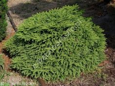 świerk pospolity 'Nidiformis' - Picea abies 'Nidiformis'   Katalog roślin - e-katalog roślin