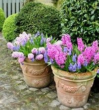 hyacinths and tulips...