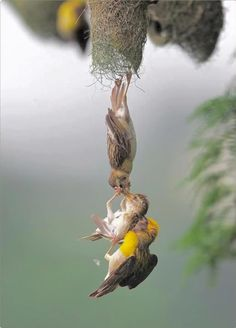 Two weaver birds grasp a chick that has fallen from the nest. Quite a remarkable photo! ( Virginia Cioffi )