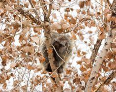 Porcupine wildlife photography Nature by SwaimPhotography on Etsy