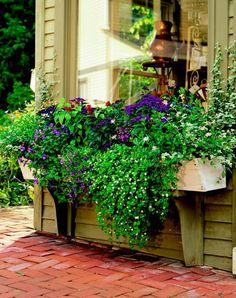 A big window needs a bold window box A. Bacopa (Sutera 'Bridal Bouquet') -- 4 B. Torenia 'Catalina Blue' -- 1 C. Calibrachoa 'Cabaret Purple' -- 2 D. Shrimp plant (Justicia brandegeana) -- 1 E. Heliotrope (Heliotropium 'Marine') -- 2 F. Window Box Plants, Window Box Flowers, Window Planter Boxes, Flower Boxes, Container Plants, Container Gardening, Succulent Containers, Gardening Vegetables, Container Flowers
