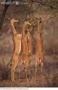 Gerenuk Feeding on Acacia Trees (East Africa). The gerenuk, Litocranius walleri, also known as the Waller's gazelle, is a long-necked species of antelope found in dry thorn bush scrub and desert in East Africa. Gerenuks seldom graze but browse on prickly bushes and trees, such as acacias. They can reach higher branches and twigs than other gazelles and antelope by standing erect on their rear legs and stretching their elongated necks.