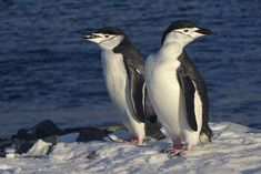 These two penguins are Chinstrap penguins. But did you know that Chinstrap penguins are closely related to Gentoo penguins?
