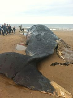 Washed up sperm whale 2012