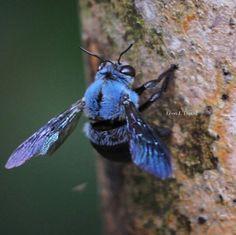 blue carpenter bees