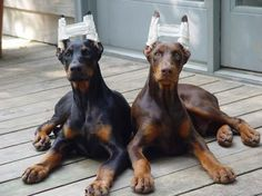 a black and a red puppy, probably around 16 weeks old; their ears have been done and wrapped to aid the cartilage in standing erect