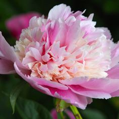 Herbaceous Peony - p. 'Whopper'