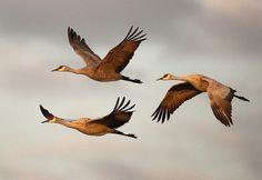 Three Sandhill Cranes | Flickr - Photo Sharing!