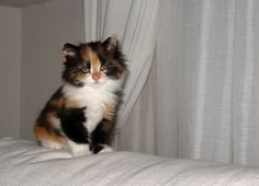 My calico cat Mina at 50 days old