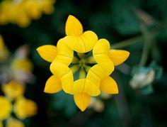 Beautiful Birds Foot Trefoil, Perennial Flower, 25 Seeds