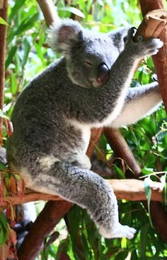 Australia Zoo - Beerwah, http://www.moodaustralia.com.au/products/souvenirs/gift-souvenirs