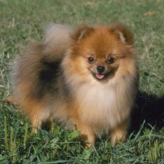 Pomeranian - An inquisitive extrovert, the Pomeranian makes friends wherever it goes. It's the smallest member of the spitz family of dogs, with the characteristic prick ears, a pointed muzzle and a plumed tail carried over the back. The breed takes its name from Pomerania, once a part of Germany.