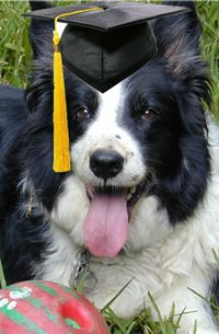 According to many studies, the border collie is the most intelligent dog breed. As beautiful as they are brainy, they are featured in film and...