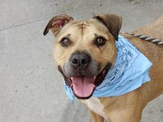 ~HANDSOME 7 YR OLD GUY TO BE DESTROYED 8/1/14~ Brooklyn Center -P  My name is BROOKLYN. My Animal ID # is A1007397. I am a neutered male tan and white staffordshire mix. The shelter thinks I am about 7 YEARS old.  I came in the shelter as a OWNER SUR on 07/20/2014 from NY 11212, owner surrender reason stated was PERS PROB.