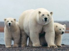 Alaska Polar Bear and Alaska Northern Lights Tour | Wild Alaska Travel