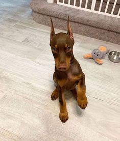 Dog Breeds Names .Dog Breeds Names Doberman Pinscher Dog, Doberman Dogs, Dobermans, Cute Dogs And Puppies, Baby Dogs, Doggies, Corgi Puppies, Cute Little Animals, Cute Funny Animals